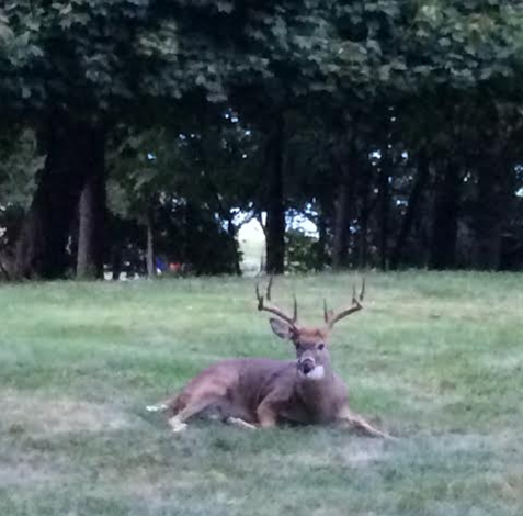 buck in yard